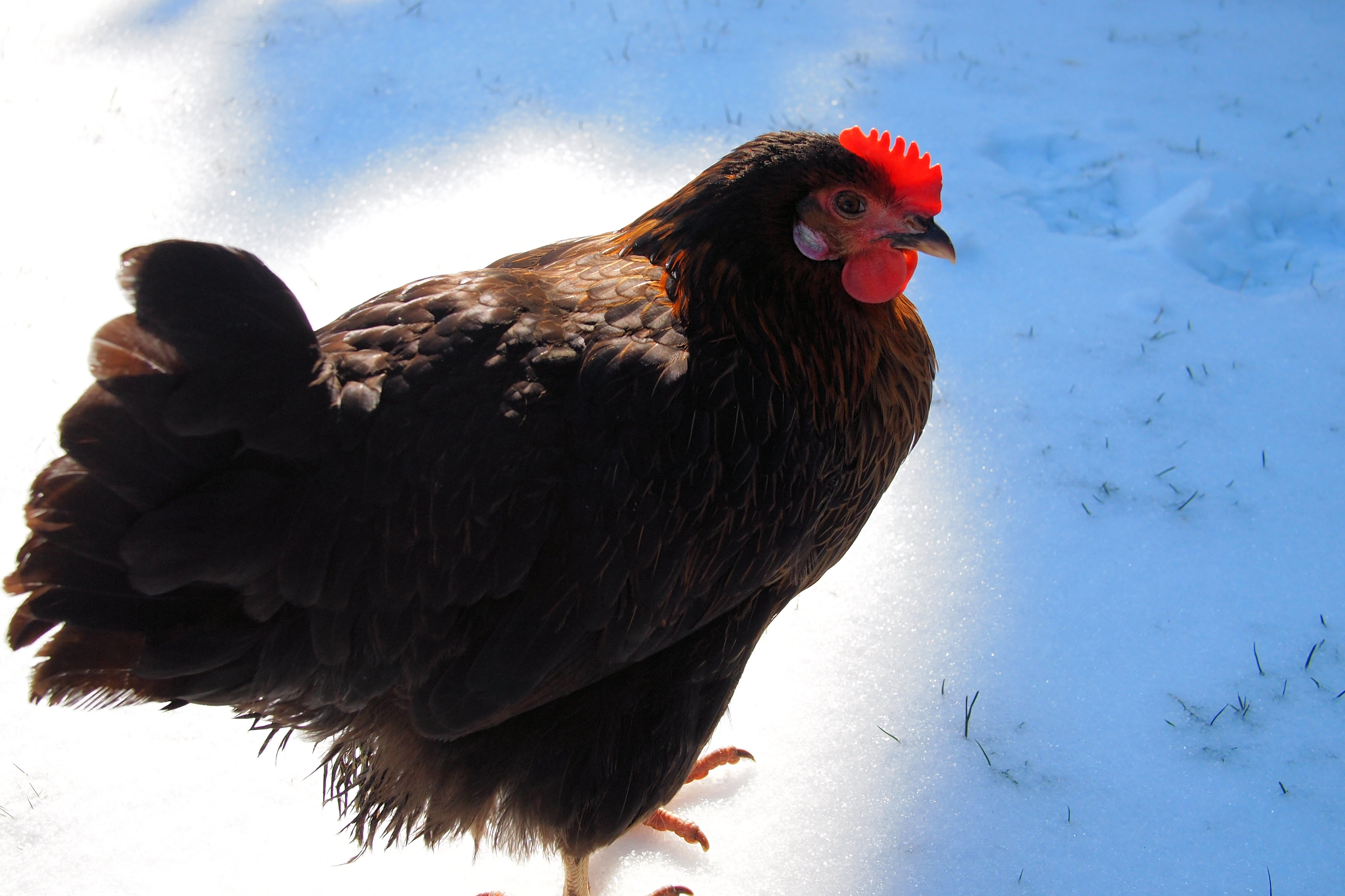 Deirdre my speckled hen in the snow!
