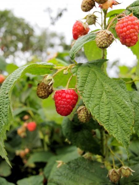 Raspberries in Vivien's Garden