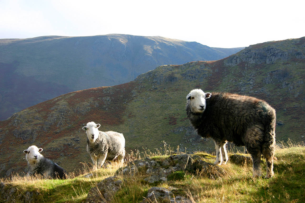 Herdwick Sheep and Lamb