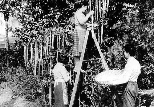 Spaghetti Harvest - April Fools Day 1957