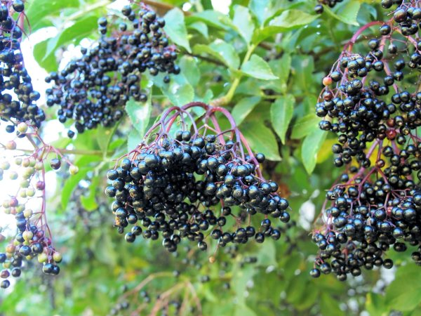 Elderberries Hedgerow Harvests And A Cornucopia Of