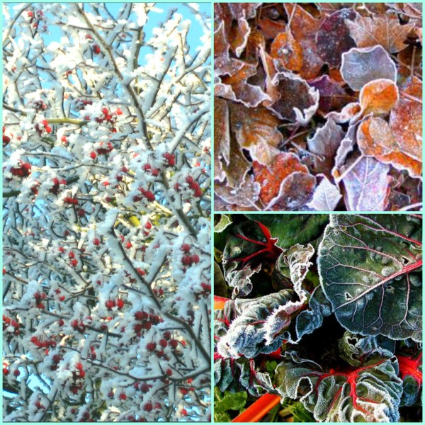 Frosted leaves and trees