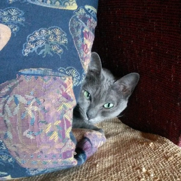 Cherie, my Korat cat hiding and ready to pounce!