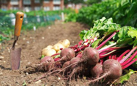 Allotment Beetroot