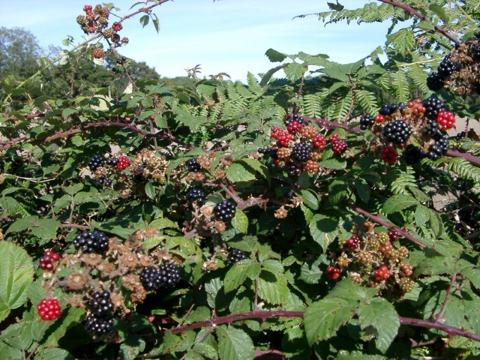 Hedgerow Blackberries