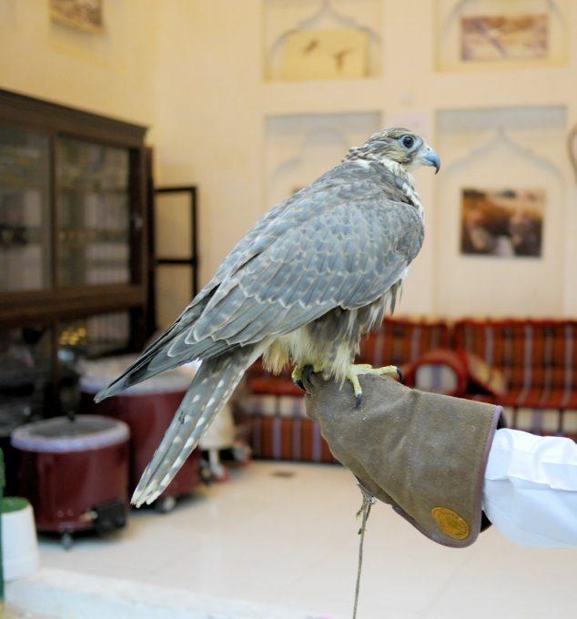 Falcon in Doha Falcon Souq