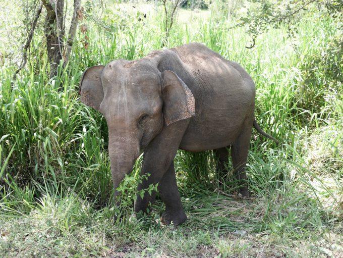 Baby Wild Elephant as seen on the way up to Habarana