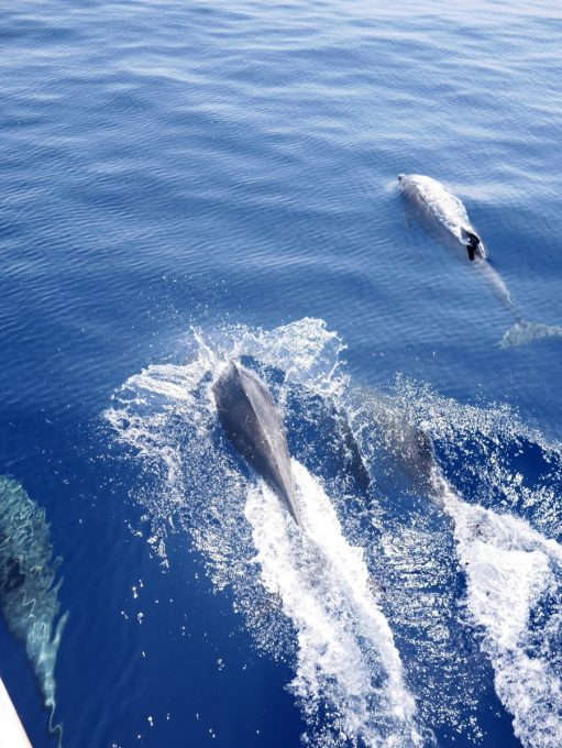 Dolphins swimming with the boat in Mirissa