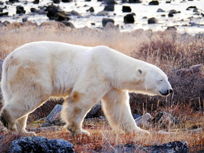 Polar Bear at Seal River Lodge in Manitoba
