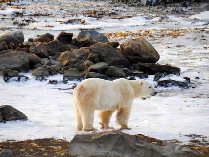 Male Bear on the newly iced up Hudson Bay