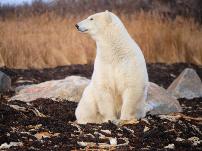 Polar bear in the wild