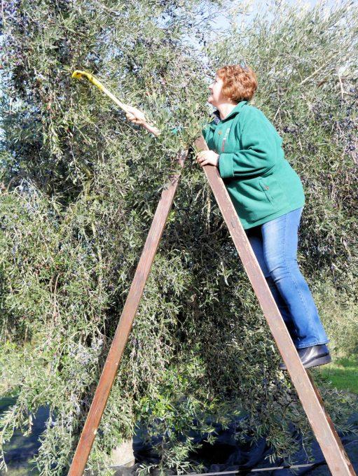 Me harvesting olives