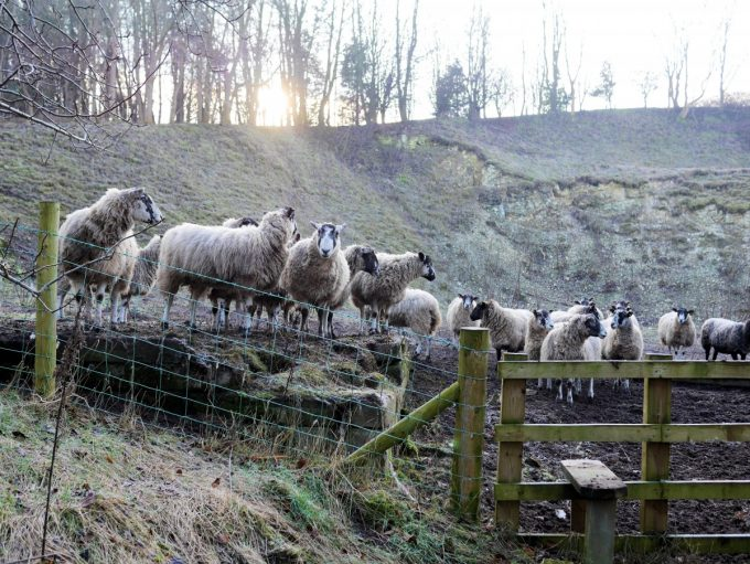 Moorland Sheep