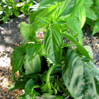 A Bunch of Basil…….Musings of an Early Riser!