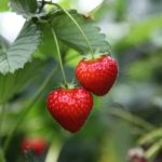Very Berry Month of May ~ Support British Summer Fruits with Delicious Puddings and a Giveaway