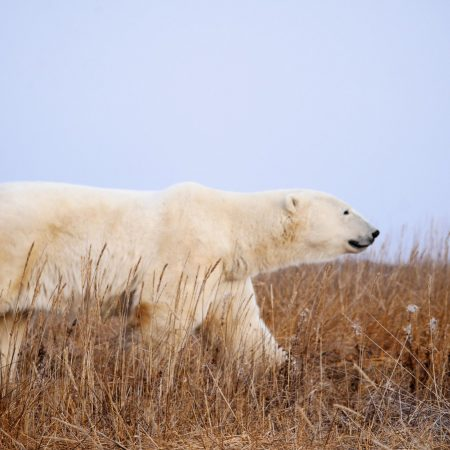 Walking with Polar Bears in Arctic Canada