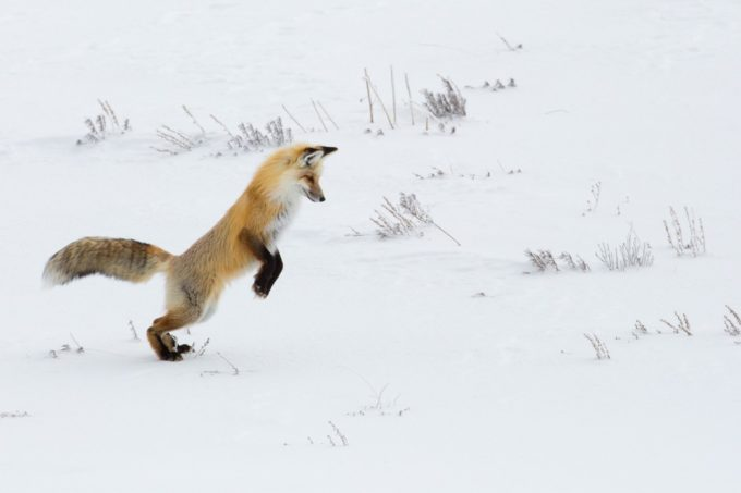 Red Fox Yellowstone National Park